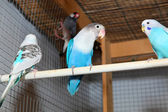 Blue budgerigars in the cage — Stock Photo