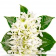 Jasmine flowers with reflection in water — Stock Photo