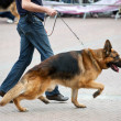 Stock Photo: Walking dog with germshepherd