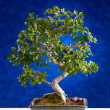 Bonsai tree — Stock Photo #40368805