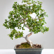 Bonsai tree — Stock Photo #40368977