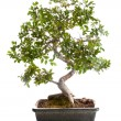 Bonsai tree — Stock Photo #40369121