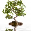 Bonsai tree — Stock Photo #40369139