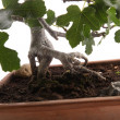 Stock Photo: Roots of bonsai fig tree
