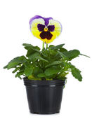 Beautiful pansies in flowerpot isolated on a white — Stock Photo