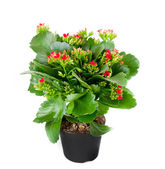 Kalanchoe flowering plant in pot — Stock Photo