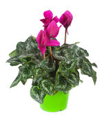 Cyclamen flowerpot — Stock Photo