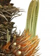 Bulb growing near trunk of cycas revoluta — Stock Photo #40423281