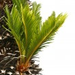 Bulb growing near trunk of cycas revoluta — Stock Photo #40423611