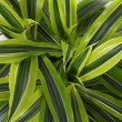 Stock Photo: Chlorophytum - evergreen perennial flowering plants