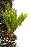 Bulb growing near the trunk of a cycas revoluta — Stock Photo