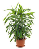 Chlorophytum - evergreen perennial flowering plants — Stock Photo