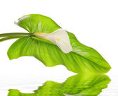 White Calla lilies with leaf — Stock Photo