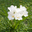 Stock Photo: Beautiful white freesia