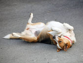 Mongrel dog lying on the asphalt — Stock Photo
