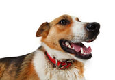 Mongrel stray dog — Stock Photo