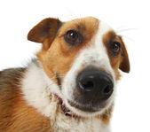 Mongrel stray dog — Stock Photo