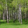 Stock Photo: Birch forest.