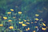 Buttercups — Stock Photo