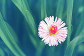 Vintage background with a delicate flower daisy. — Stockfoto