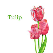 Tulips isolated on a white background. — Stock Photo
