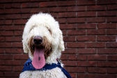 White labradoodle with tongue hanging out — Stock Photo