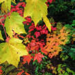 Yellow-green maple leaves with rain droplets on multicolor fall — Stock Photo