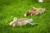 Resting gosling lying on green grass — Stock Photo