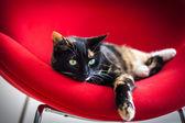Jeden kot tricolor, wyleguje się na czerwone krzesło — Zdjęcie stockowe