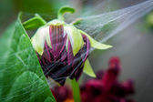 Dark purple bud of dahlia in spiderweb — Stock Photo