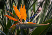 Single Crane Flower or Bird-of-Paradise with droplets of nectar — Stock Photo