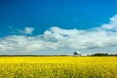 Lupin sarı zemin çiçek. — Stok fotoğraf