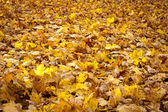 Forest floor covered in yelloy maple leaves — Stock Photo