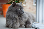 Nebelung cat lying on porch — Stock Photo