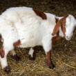 Stock Photo: Bicolor long-eared goat in barn