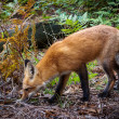 Sniffing red fox — Stock Photo
