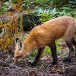 Stock Photo: Sniffing red fox