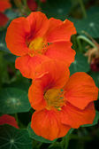 Two orange nasturtium flowers — Stock Photo