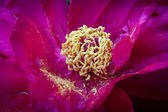 Purple tree-peony with stamens and sprinkled pollen on petals — Stock Photo