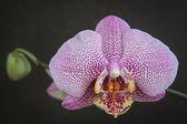 Lila gesprenkelten orchidee auf grauem hintergrund — Stockfoto