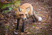 Standing red fox — Stock Photo