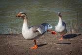 A goose stretching its leg. while the other one watches — Stock Photo