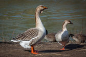 A couple of wild geese — Stock Photo