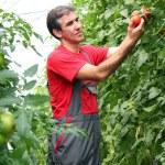 Organic Farmer Harvesting Tomatoes — Stock Photo #14958579
