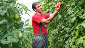 Organic Farmer Harvesting Tomatoes — Stock Photo