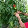 Stock Video: Farmer Follows Growth of Tomato