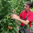 Stock Video: Farmer Checking His Tomato Crop