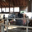 Dairy Cattle Going to Milking — Stock Video