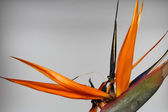 Crane Flower or Bird of Paradise. — Stock Photo