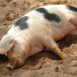 Stock Photo: Sleeping pig